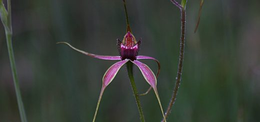 spider orchids in the bush