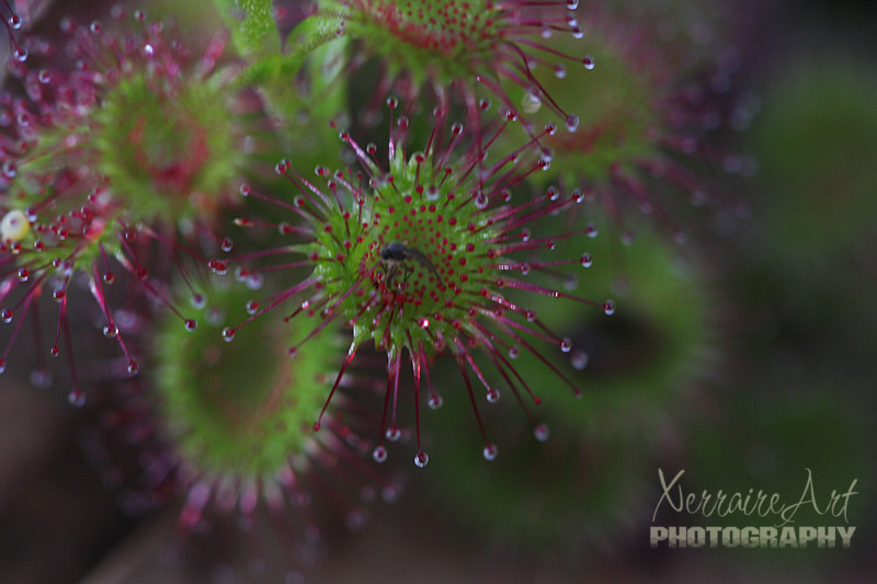 Sundews, a carnivorous plant, this one has trapped something.
