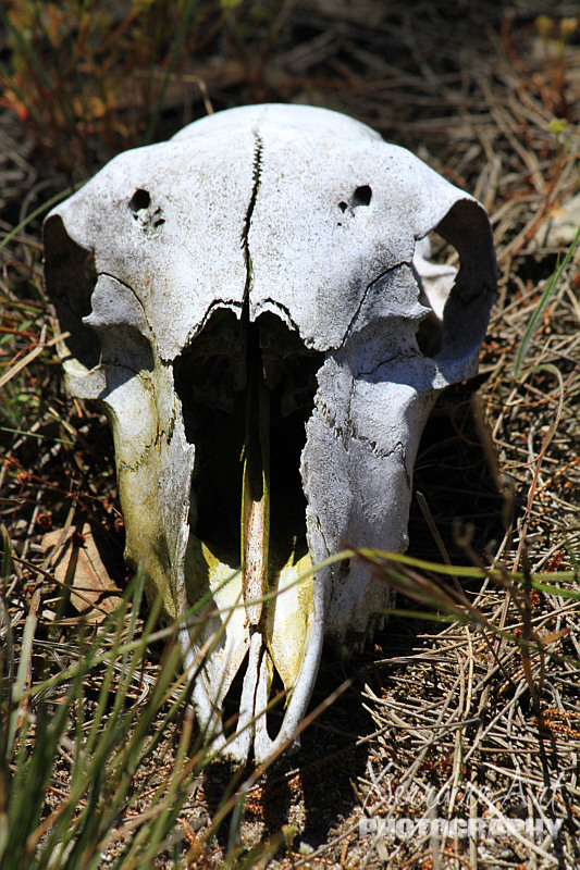 What else can you see in the bush? A sheep skull of course. (We brought it home).