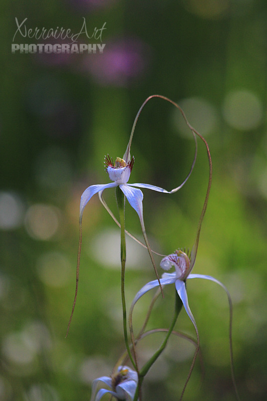 A sweet photo of two spider orchids.