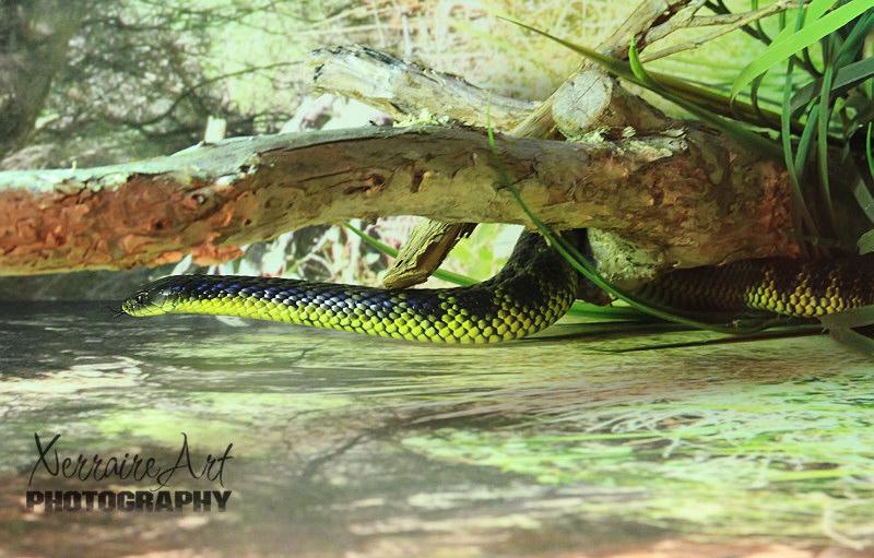 Tiger Snake at Perth Zoo