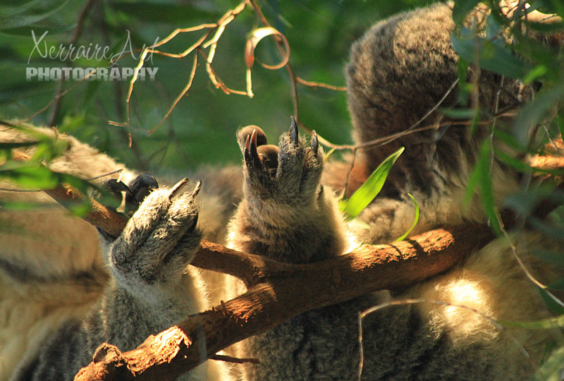 Koala feet