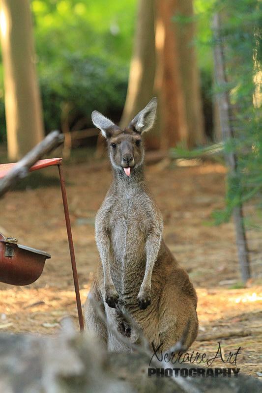 Kangaroo with tongue stuck out