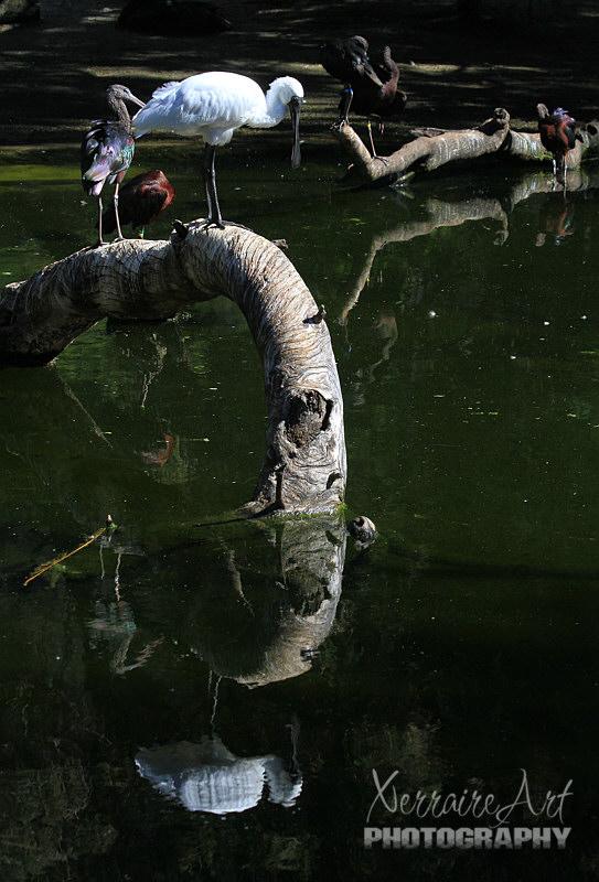 Royal Spoonbill at Perth Zoo