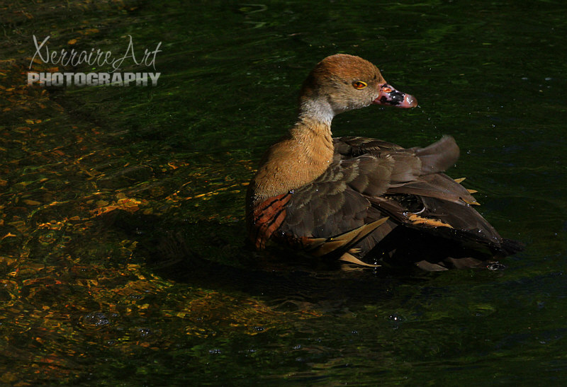 Whistling duck at Perth zoo
