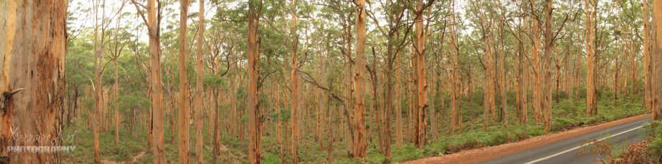 trees of boranup forest