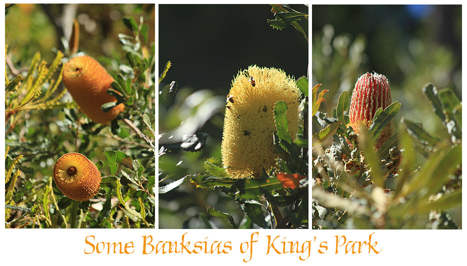 Banksias of Kings Park