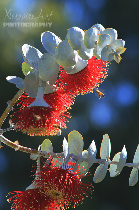 Eucalyptus macrocarpa, or Mottlecah, is a mallee Eucalyptus that is native to the south-west of Western Australia and noted for its large, spectacular flowers