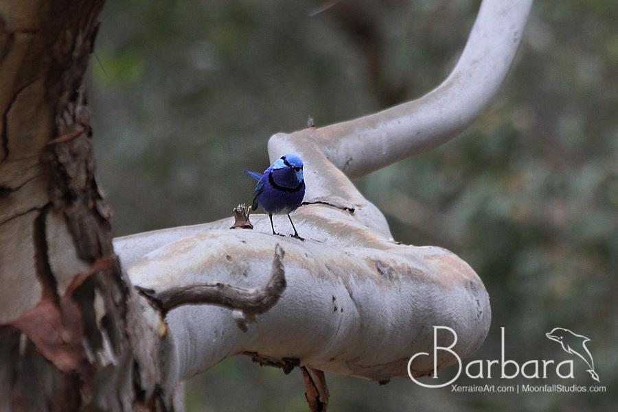 Blue Fairy wrens.