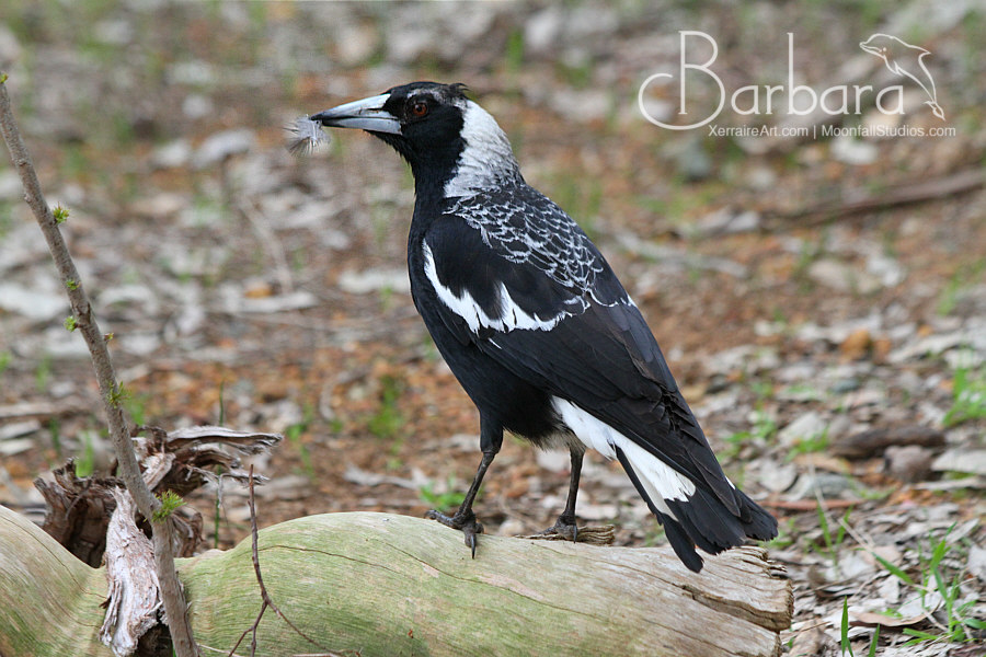 Magpie with feather.