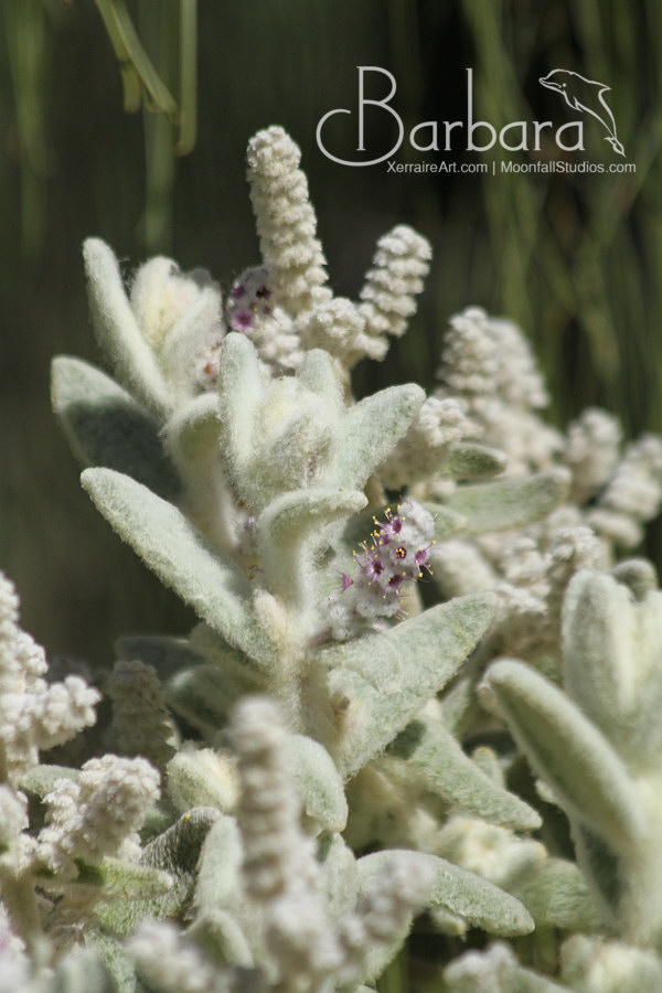 Lamb's Tails flower