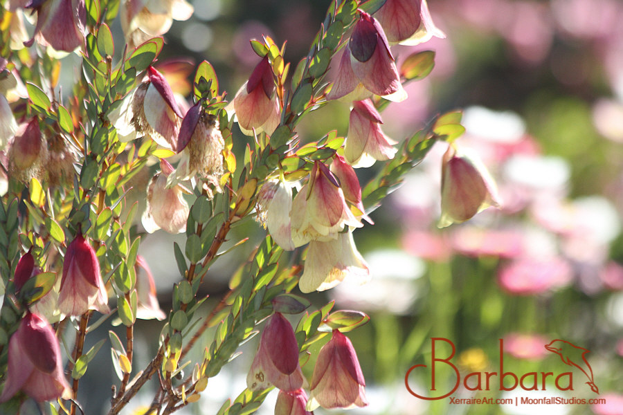 Qualup Bell (Pimelea physodes).