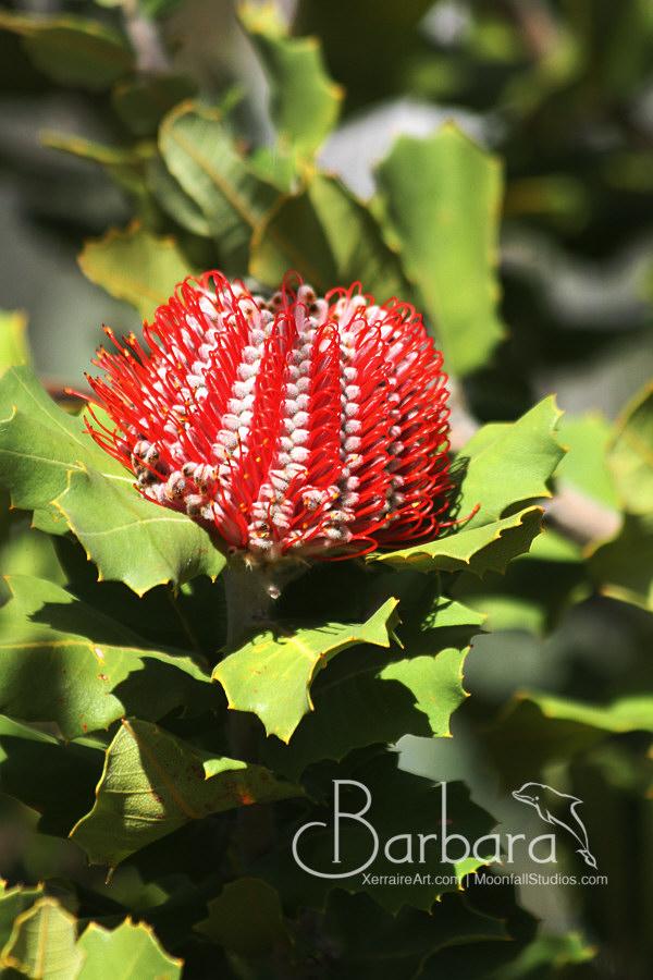 Scarlett Banksia