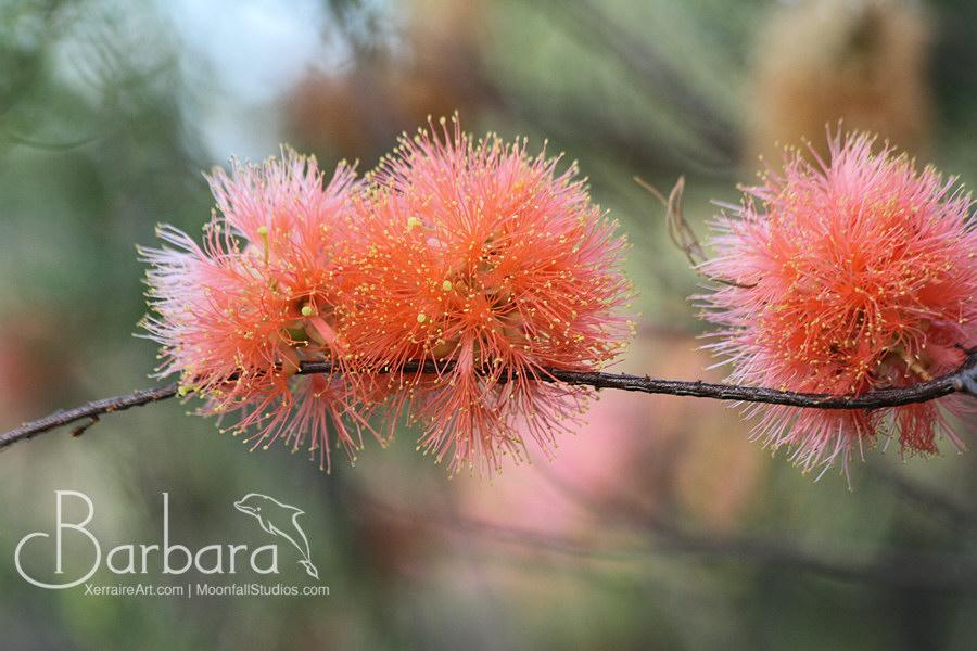 Scarlet Honey-myrtle