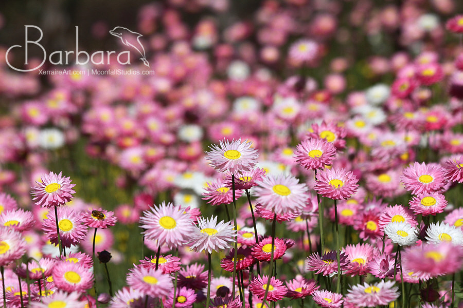 few everlasting wildflowers