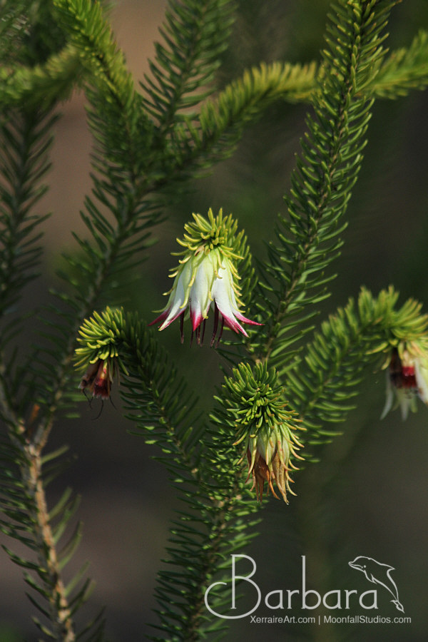 Darwinia meeboldii (Cranbrook Bell)