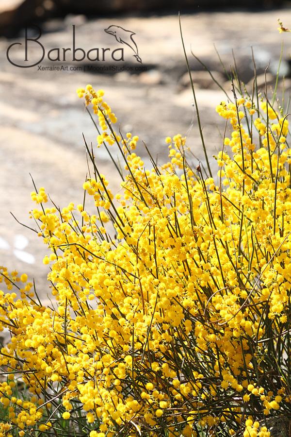 Acacia at Wongan Hills