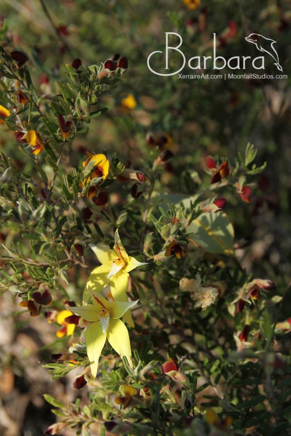 Cowslips Caladenia flava