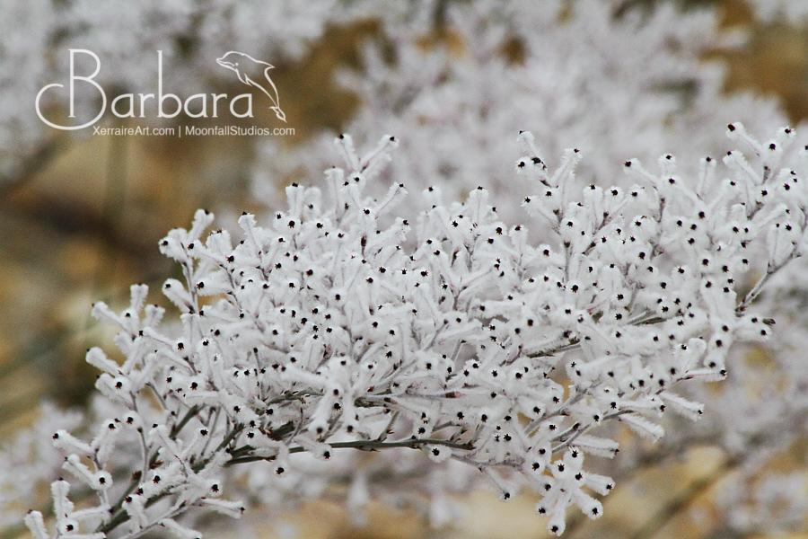 Woolly Smokebush (Conospermum incurvum)