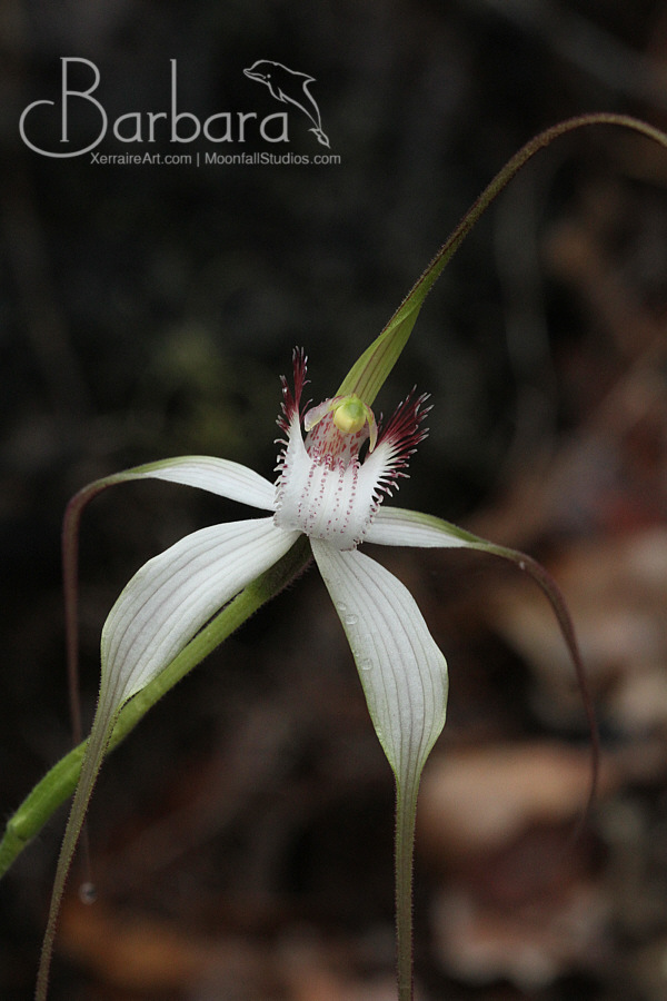 Spider orchid