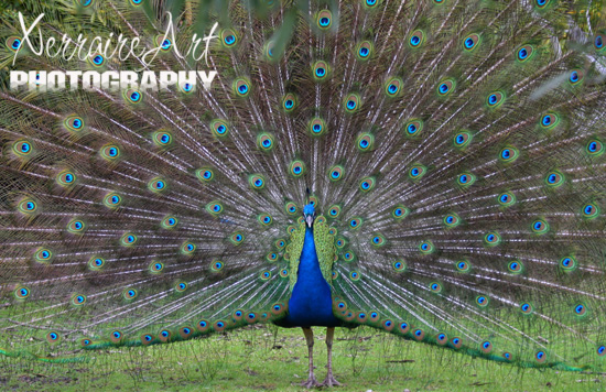 Peacock, showing off