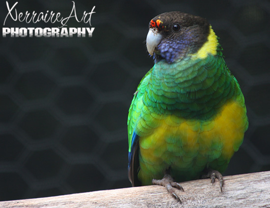 """Ring Necked Parrot or a """"Twenty-Eight"""""""