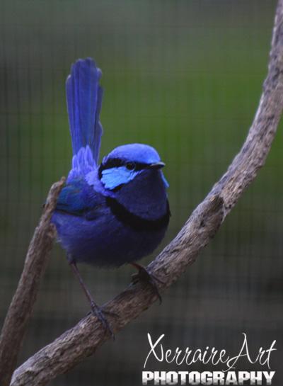 Splendid Blue Fairy Wren