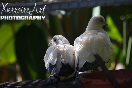 Torres Strail Imperial Pigeon