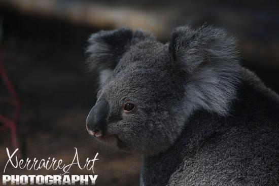 Queensland Koala