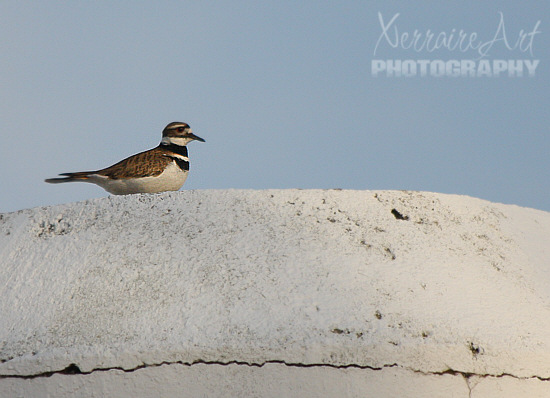 We spotted a different bird, which we later learned is a killdeer.